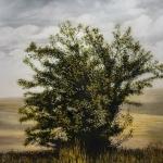 Wayward Bush, 60x75.jpg
