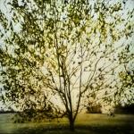 Radiant Tree, 36 x 36