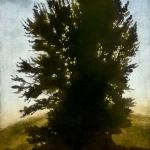 Tall tree (Osbourne commish)